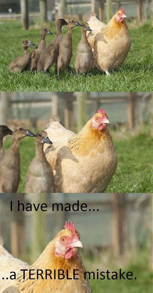 chicken-made-a-mistake
