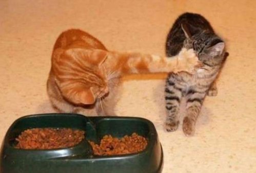 FunnyCats-Fight-for-Food