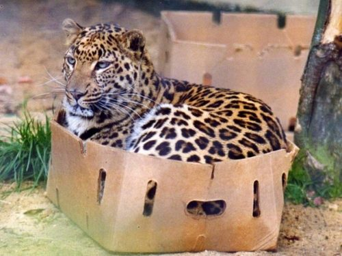 Even big cats like boxes