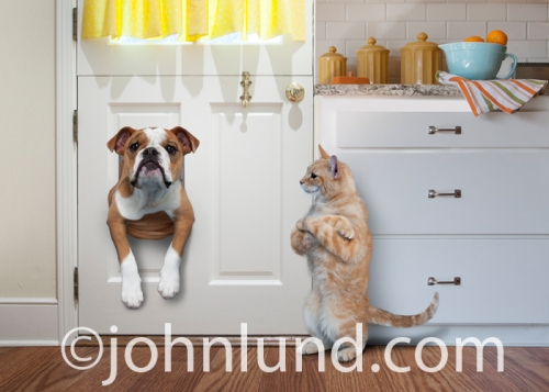 English-Bulldog-Stuck-In-Pet-Door
